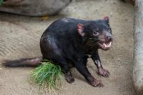 Tasmanian devil returns to San Diego Zoo after pacemaker surgery