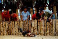 Cockfighting in Cuba: clandestine venues, state arenas