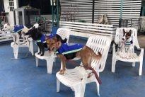 `Smart vest` turns stray dogs into Thailand`s street guardians