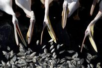 Thousands of migrating pelicans get free lunch in Israel