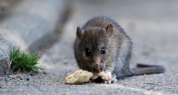 Rats join mosquitoes as targets for 'gene drive' pest control