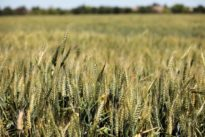 U.S. grain companies fear harm from new tax law