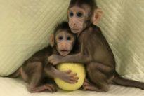 Chinese scientists break key barrier by cloning monkeys