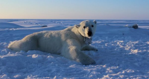 Metabolism study signals more trouble ahead for polar bears