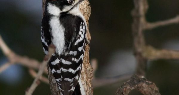 A real head banger: woodpeckers show signs of potential brain damage