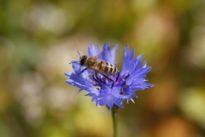 Pesticides put bees at risk, European watchdog confirms