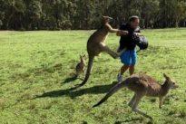 Carrot-addicted kangaroos hopping mad at tourists