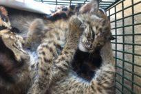 'Hello kitties' turns to 'beware bobcats' in Texas