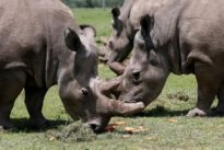 Scientists hope test-tube embryos can save near-extinct white rhino
