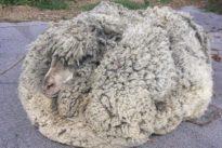Shaggy sheep shorn of massive fleece in Australia