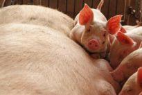 U.N. holds emergency meeting in Asia as China battles African swine…