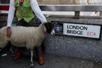 Baaah! TV gardener Titchmarsh leads London Bridge sheep drive