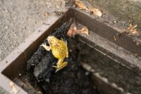 'Frog ladders' help critters escape death-trap drains