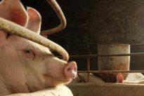 China urges subsidies to help disease-hit pig farms restock