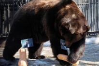 Bears in Russian zoo predict Ukrainian election