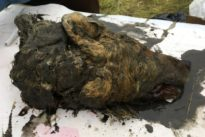 Russia uncovers 40,000 year-old wolf head, preserved in ice