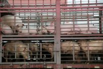 Swine fever toll in China may be twice as high as reported,…