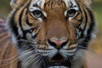 Tiger at New York's Bronx Zoo tests positive for coronavirus