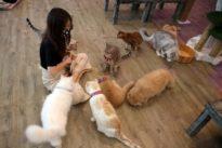 Clawing back normality: Bangkok cat cafe reopens after virus shutdown